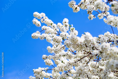 Foto op Plexiglas Magnolia Spring flowers. Branches of blossoming cherry against the blue sky. White flower. Spring background. Cherry blossoms.