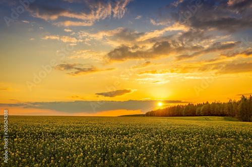 Obraz Landscape, beautiful sunset over rape field - fototapety do salonu
