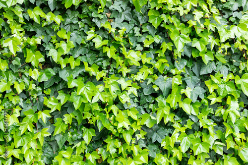 Ivy leaves to use wallpaper Fototapeta