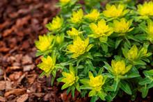 Euphorbia Polychroma Cushion Spurge Flower