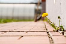 Dandelion With Flower Growing In A Crack Sidewalks