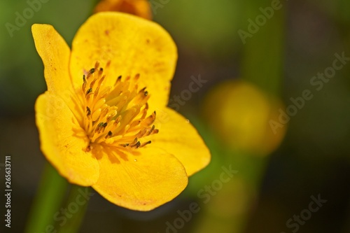 Yellow flowers of Ranunculus acris on green grass background Canvas Print