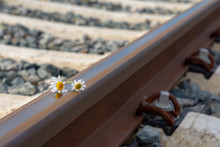 Daisies On A Train Rail