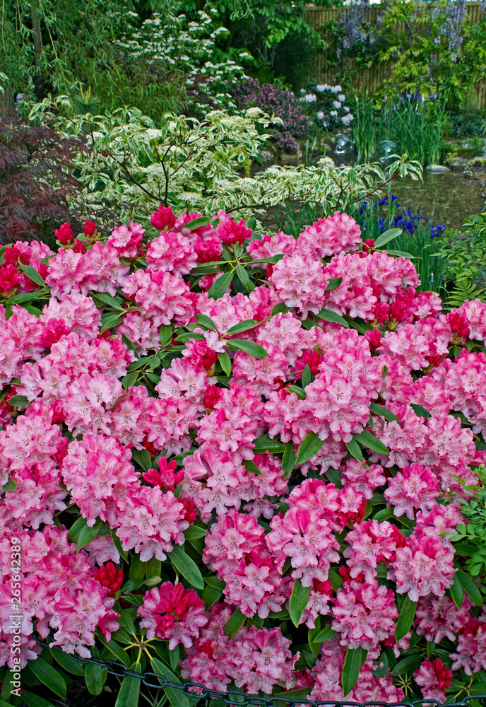 A garden featuring English and Japanese gardening styles using colourful rhododendrons