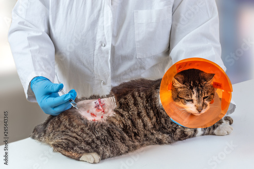 Abscess atback area of domestic cat on operating table in veterinary clinic Canvas Print
