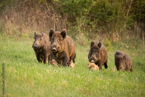 Obraz Group of wild boars, sus scrofa, running in spring nature. Action wildlife scenery of a family with small piglets moving fast forward to escape from danger. - fototapety do salonu