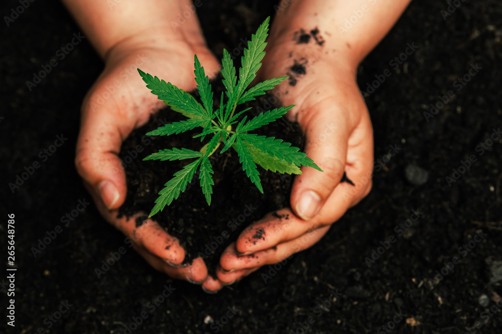 Fototapety, obrazy: The second hand is carrying marijuana seedlings that will be planted in the soil the concept of loving the world.
