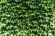 Green leaf bush growing on structural wall.