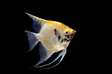 Angel Fish Isolated On Blackgr...