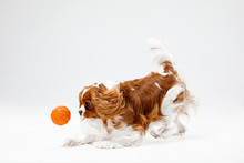 Spaniel Puppy Playing In Studi...