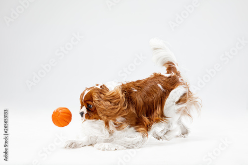 Spaniel puppy playing in studio Fototapet