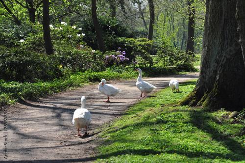 Weiße Hausgans, vier Hausgänse genießen einen Frühlingsspaziergang im Stadtpark