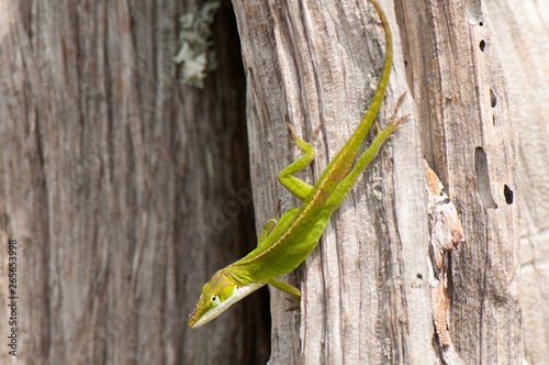 green anole lizard on tree trunk Canvas Print