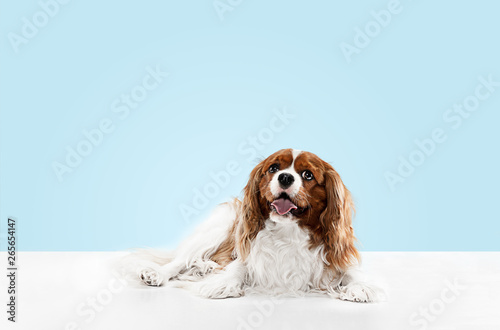 Fotomural Spaniel puppy playing in studio
