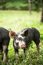 Pigs Under An Apple Tree