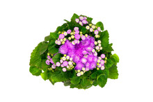 Petunia Ageratum In A Flower Pot On A White Background, Top View