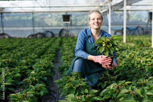 Fototapeta Young female gardener in gloves working with  seedlings of euphorbia pulcherrima