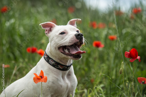 Photographie Cute staffordshire bull terrier