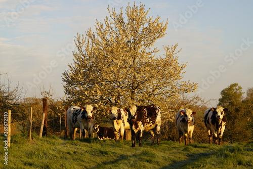 Poster de jardin Vache Animal ferme vache 277