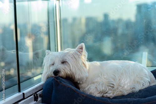 Westie Posters & Wall Art Prints | Buy Online at EuroPosters