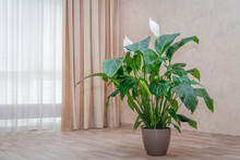 Spathiphyllum Plant Growing By The Window