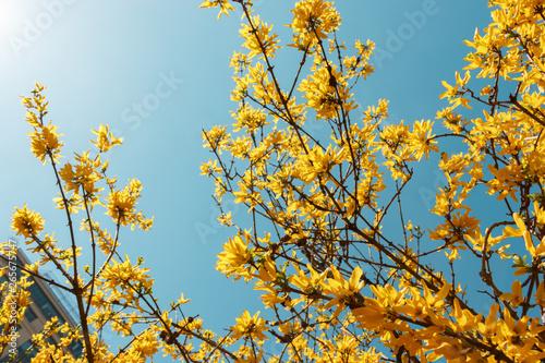 Forsythia flowers against a beautiful morning blue sky Canvas Print