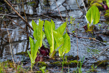 Eastern Skunk Cabbage ,Symplocarpus Foetidus,native Plant Of Eastern North America.Used  As A Medicinal Plant And Magical Talisman By Various Tribes Of Native Americans