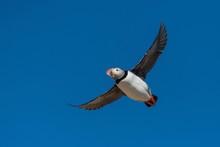 Atlantic Puffin (Fratercula Arctica) In Flight With Blue Sky, Borgarfjordur, Iceland, Europe