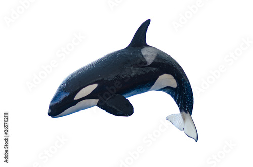 Fototapeta a jumping orca on a white background, isolated with copyspace