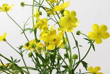 Beautiful Wild Buttercup Golde...