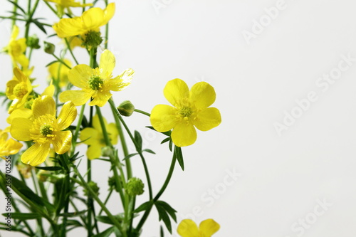 Valokuva  beautiful wild buttercup golden yellow flower blooming on white background