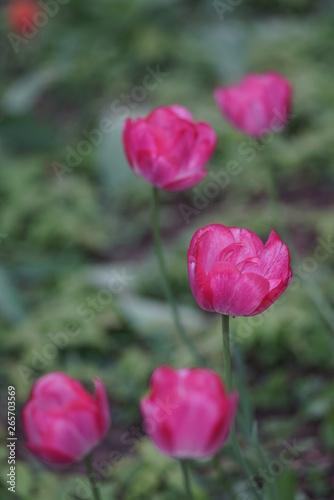 Türaufkleber Darknightsky Tulips inside of a garden