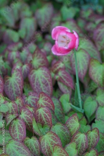 Montage in der Fensternische Darknightsky Tulips inside of a garden