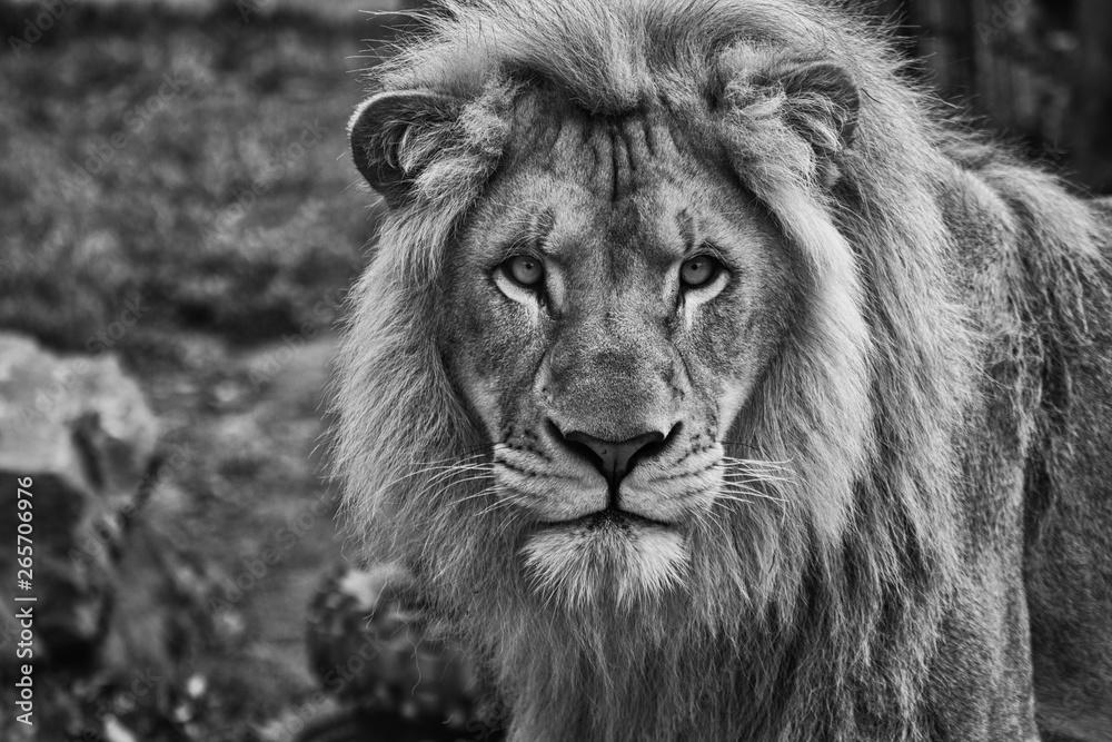 Fototapeta portrait of a male lion black and white