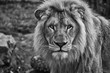 portrait of a male lion black and white