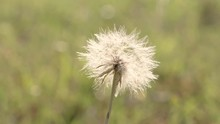 Close Up Of A White Dandelion Puffball Bobbing Slightly In The Breeze, Slow Pan 24 Fps.