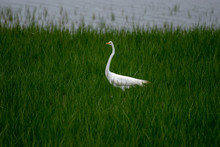 A Great Egret Standing In A Green Marsh Grass Field While It Begins To Rain