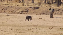 Baby Elephant Running To His Family While Digging On A Dried Up River In Tanzania.