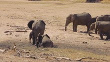 Group Of Elephants Digging For Water In A Dried Up River In Tanzania.