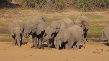 Drought Make Elephants Dig For...