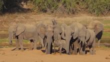 Herd Of Elephants Digging For Water In A Dried Up River