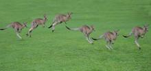 Kangaroos Hopping Sequence