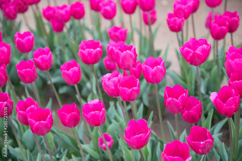 Poster Rose Flower beds with colorful tulips - Image