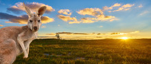 Kangaroo With Sunset Australia Outback