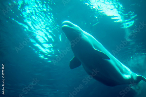 Under side of beluga whale Fototapet