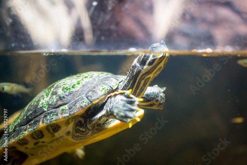 Poster Tortue Turtle swimming to the top