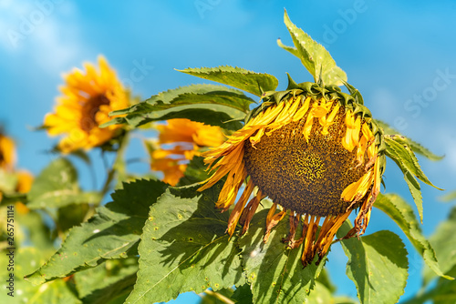 Fotografie, Obraz  Withered Big Sunflowers After Full Blooming