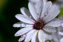 African Daisy With Dew Drops -...