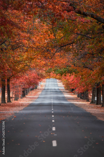 Fototapety, obrazy: Straight empty view of Honours Avenue at Mount Macedon, Victoria with autumn leaves.
