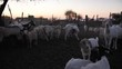 Herd of Goats in Kraal at Dusk